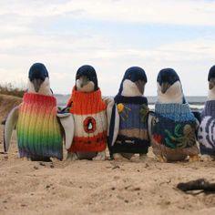 """Cuando los pingüinos son atrapados en derrames de petróleo, su plumaje se apelmaza, haciéndoles difícil permanecer calientes o cazar para alimentarse. ¡Pero no están solos! La fundación a favor de los pingüinos, """"Penguin Foundation"""", les salva sus vidas poniéndoles suéteres de lana para mantenerlos cálidos e impidedir que ingieran petróleo por sus picos, en un intento por limpiar sus plumas. Lindas labores que hacen al mundo: #Verde. #MundoAnimal #MundoVerde Imagen vía ..."""