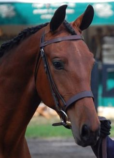 Cleveland Bay Horse , handsome and rare. And i have had the pleasure to ride one ;)