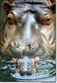 mommy hippopotamus watching newborn baby hippo All I want for Christmas. is a Hippopotamus Song, .my birthday or any holiday for that reason.is a BABY HIPPO! The Animals, Nature Animals, My Animal, Cute Baby Animals, Funny Animals, Wild Animals, Animal Babies, Animals And Their Babies, Mother And Baby Animals