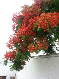 Poinciana Florida Plants, Growing Gardens, Cultural Experience, Tropical Design, Flowering Trees, Types Of Plants, Greenhouses, Outdoor Plants, Wells