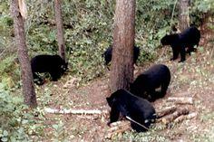 Bow hunting for black bear Bear Hunting, Hunting Cabin, Hunting Guns, Archery Hunting, Hunting Outfitters, Bow Hunter, Fish Camp, Hunting Clothes, Black Bear