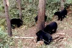 bow hunting black bears..some day.. some day
