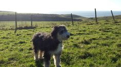 Belle the working bearded collie.  The return to the downs for this fabulous sheepdog