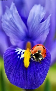 The symbol of Florence. the Iris flower. The iris has a little lady bug on it. Beautiful Bugs, Beautiful World, Beautiful Flowers, Beautiful Pictures, Beautiful Butterflies, Exotic Flowers, Photo Coccinelle, Fotografia Macro, Iris Flowers