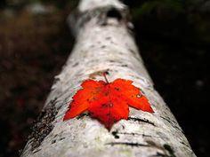 Una hoja de arce roja solitaria se encuentra en el tronco de un árbol caído en Parque Nacional Acadia en Maine. Los Estados Unidos es el hogar de unas 90 especies diferentes de árboles de arce.