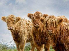 Highland coos .... Photo G. Wellman.