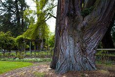 Old growth tree inside Pt. Defiance Park.