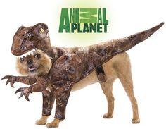 Rawr! We love this dinosaur raptor dog costume! #Halloween (via @Wag.com)