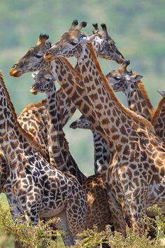 Rothschild's Giraffe (Giraffa camelopardalis rothschildi) - savannahs, grasslands and open woodlands of Uganda and Kenya Types Of Animals, Animals Of The World, Animals And Pets, Baby Animals, Cute Animals, Wild Animals, African Animals, African Safari, Beautiful Creatures