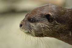 Otter and his whiskers in profile - July 1, 2015