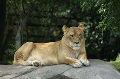 LEON, ANIMALES, SALVAJES, ZOOLOGICO, FELINOS, LEONA, LEON , ANIMALS, WILD , ZOO , CATS , LEONE