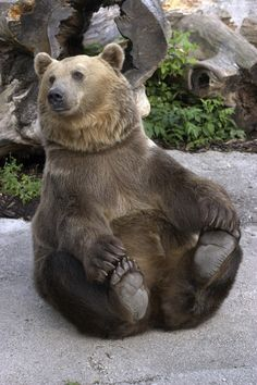 An aggressive omnivore, grizzly bear is basically a solitary animal that attacks only when provoked. Here are some interesting facts, which would help you to get an insight into its behavior and way of life in the wild. Large Animals, Animals And Pets, Baby Animals, Funny Animals, Cute Animals, Wild Animals Pictures, Bear Pictures, Cute Animal Pictures, The Bear Family