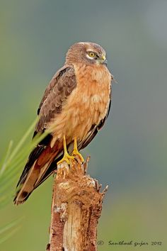 Montagu's Harrier (Circus pygargus) is a migratory bird of prey of the harrier family. This species can be found in a middle-latitude band of predominantly temperate climates, but also in Mediterranean, and boreal zones.