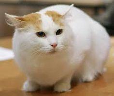 turkish van cat - Google Search
