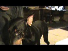 Brain shunt surgery for Doberman puppy