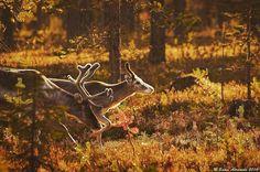 Lapland, Finland By: Samu-Erkki Aaramaa Endless Night, Scandinavian Countries, Outdoor Activities, Moose Art, Lapland Finland, Landscape, Photography, Animals, Beautiful