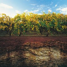 The soil profile in South Australia's Coonawarra region - the flavours some from the limestone. Read more  http://www.visitvineyards.com/south-australia/wrattonbully/tours/itineraries-trails/wine-food-travel-articles/regional-overview-coonawarra