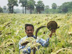 Sunflower cultivation becoming popular in Gopalganj