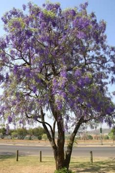 Bolusanthus speciosus (Tree wisteria) - tree wisteria is one of the most beautiful of South Africa
