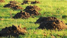 Moles In Yard, Killing Japanese Beetles, Mole Repellent, Taupe, Old Farmers Almanac, Water Element, Water Spray, Water Garden, Mole