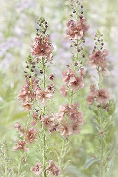 """Verbascum """"Pink Petticoats"""" I love this reseeds but isn't invasive and it's so delicate and magical. hollyhock Verbascum Pink Petticoats I love this reseeds but isn't invasive and it's so delicate and magical. Cut Flower Garden, Flower Farm, Design Jardin, Garden Design, Amazing Gardens, Beautiful Gardens, Pink Flowers, Beautiful Flowers, Flowers Nature"""