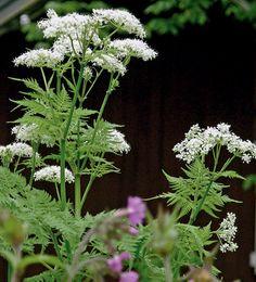 Näin keräät ja kasvatat villiyrttejä: TUOKSUVA SAKSANKIRVELI Saksankirveli (Myrrhis odorata) on monivuotinen mausteyrtti, jonka makeahko maku muistuttaa lakritsia ja tuoksu anista. Sitä viljeltiin 1800- luvulla, mutta se jäi sittemmin unohduksiin. Lähes koko kasvi on syötävä: kukat, varret, lehdet, kypsymättömät ja kypsyneet siemenet sekä juuret.