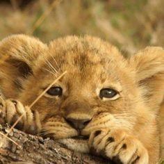 What a very cute baby lion cute and cuddly cute baby animals Cute Baby Animals, Animals And Pets, Funny Animals, Big Animals, Animals Images, Funny Cats, Beautiful Cats, Animals Beautiful, Pretty Cats