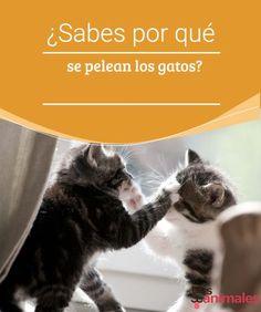 ¿Sabes por qué se pelean los gatos? -Mejor con Mascotas  Si tienes más de un gato, puede que hayas sufrido peleas en tu propia casa y sabrás que es mejor mantenerse alejado. Pero, ¿por qué se pelean los gatos?