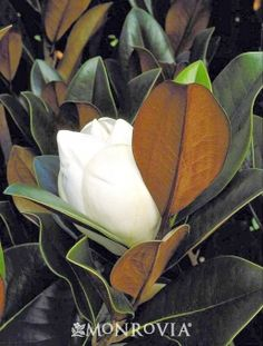 DD Blanchard Southern Magnolia: Strong grower to 50 ft. and more tall, 25 to 35 ft. wide; companion trees recommended here as well