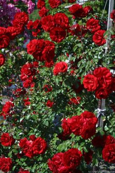 'Amadeus ' -Rain tolerant, almost no scent. Flowers last long. Blooms in flushes. Best as a bush (shaped) in colder climates. Sometimes black spot-ridden. Flower Colors, Colorful Flowers, Flowers Last Longer, David Austin, Rose Photos, Study Help, Climbing Roses, Black Spot, Red Roses