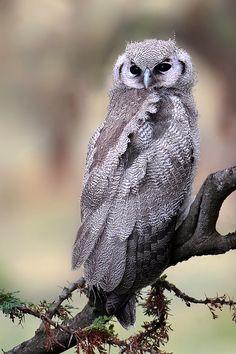 Verreaux's Eagle-Owl. ( juvenile)  Nth Serengeti, Tanzania.