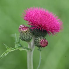 Buy brook thistle Cirsium rivulare 'Atropurpureum': Delivery by Waitrose Garden in association with Crocus Thistle Plant, Thistle Flower, Cottage Garden Plants, House Plants, Scotland National Flower, Hydrangea Seeds, Sea Holly, Grow Organic, Organic Gardening Tips