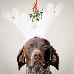 """""""Pucker up...buttercup. Line up ladies  #mistletoe  The kissing custom dates back to the 1500s.  Each time a couple kissed under a mistletoe sprig, they removed a berry. When the berries were all gone, so was the sprig's kissin' power,"""" writes @pointandwag.  #dogsofinstagram"""