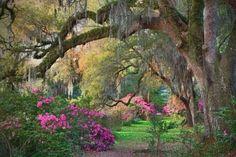 Azaleas & Spanish Moss, Magnolia Plantation, SC