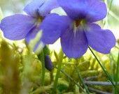 "Poster "" Tendres Violettes """