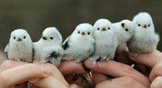 calleboll:    Stjärtmesar. Finns det sötare fåglar?  Foto:Ottenby fågelstation     long-tailed tit