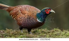 thumb1.shutterstock.com display_pic_with_logo 702964 231178240 stock-photo-pheasant-male-in-beautiful-colors-231178240.jpg