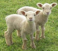 Babydoll Southdown Sheep