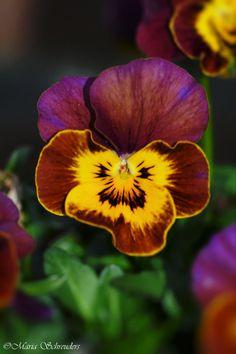 ~~Viola flower by Maria-Schreuders~~
