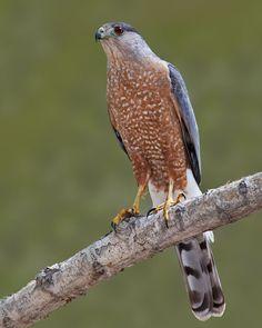 Cooper's Hawk - Whatbird.com
