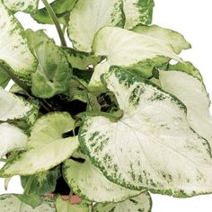 Silver tree pilea one of over 400 varieties from exotic for How to take care of exotic angel plants