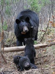 Juliet and her cubs, Mar. 2012