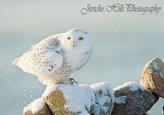 Snowy Owl on the Rocks