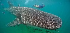 Swim with Whale Sharks (Photo from The Smithsonian)