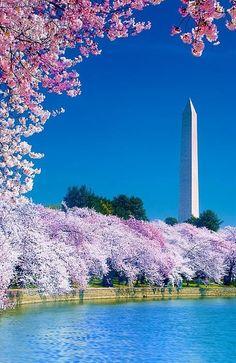 Cherry+Blossom+Festival,+Washington,+DC+|+Family+Vacation+Ideas