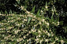 Plant Info: Phillyrea angustifolia (Narrow-leaved mock privet)  http://www.telegraph.co.uk/gardening/3324869/How-to-grow-Phillyrea.html