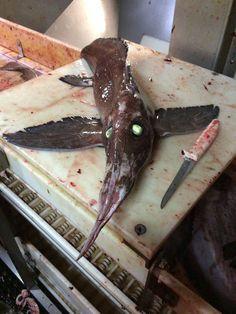 Alien of the Deep: 'Winged' Green-Eyed Creature Stuns Fishermen