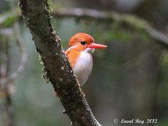 Madagascar Pygmy-Kingfisher (Corythornis madagascariensis)