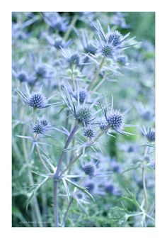 Sea Holly by Alyson Fennell on 500px