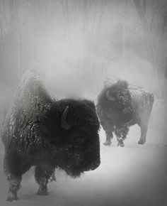 hoof&horns | by trevor▲nicholls Magnificent Beasts, the Mighty Buffalo (Bison)